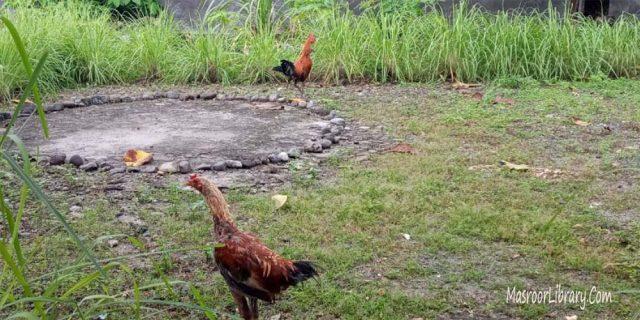 Ternak Ayam Sebagai Sumber Pendapatan, Rabtah dan Tablig | Si Jengger dan Filosofinya